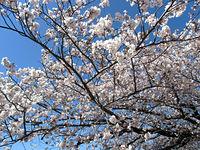 雨が降って桜が散ってしまう